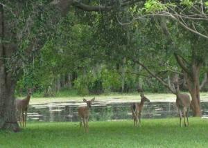 Deer-Herd