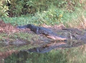 Gator Backyard