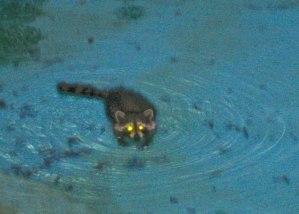Raccoon-in-Pool
